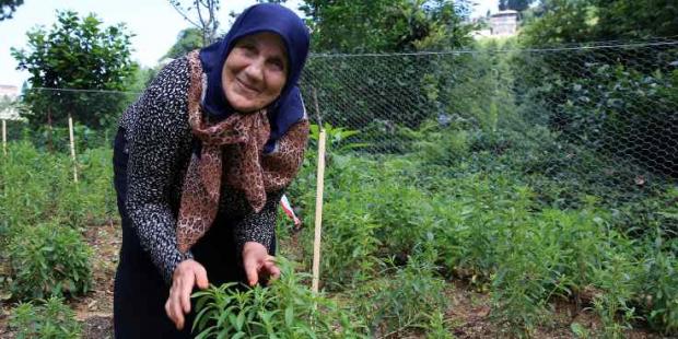 Doğu Karadeniz'e Çay ve Fındıktan Sonra Yeni Ürün: Stevia