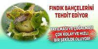 'Kahverengi Kokorca' Fındık Bahçelerini Tehdit Ediyor