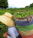 2020 Yaş Çay Fiyatı Belli Oldu
